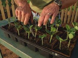 once the seedlings reach 2 tall thin the plants with scissors to one plant