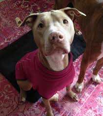 "five foolproof tips for better ""pit bull"" advocacy the 3704"