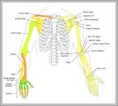 Human Bone Chart Human Bone Diagram Anatomy System Human Body Anatomy