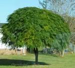Images & Illustrations of chinaberry tree