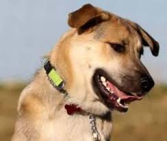 German Shepherd Lab Mix Weight Chart German Shepherd Lab Mix The Definitive Guide With Playing