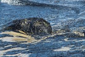 chennai oil spill all you need to know about the environmental chennai oil spill all you need to know about the environmental disaster unfolding