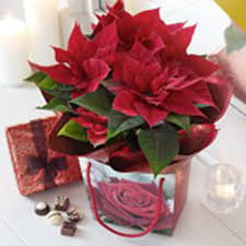 poinsettia plant gift bag with chocolates