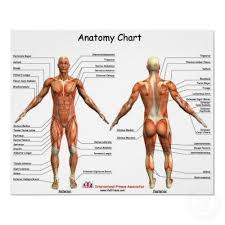 Human Anatomy Charts View Specifications Details Of