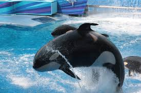 an orca at one of seaworld s facilities kayla not pictured