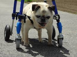 the walkin wheels quad cart is for dogs