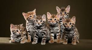 The Ultimate Guide To Bengal Cats Cattify