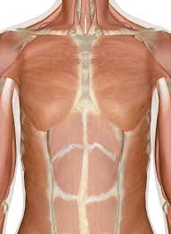 Called up local mariano's fresh market, talked to the butcher and told him what i was looking for. Muscles Of The Chest And Upper Back