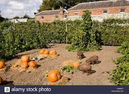 The Kitchen Garden Uk Kent Deal Walmer Castle Pumpkins Growing In The Kitchen Garden