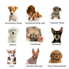 Small Dog Breeds Chart With Pictures Small Dog Breeds