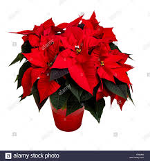 Leuchtend Rote Weihnachtsstern Anlage Auf Weiß Stockfoto