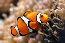 depending on the species clownfish boasts multiple color binations but the most por is probably the one consisting of an orange body interrupted by