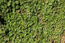 niner wine estates blog garden to table a summer photo essay strawberry dymondia ground cover will eventually sp across our entire garden