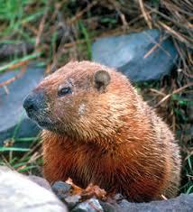 """Résultat de recherche d'images pour """"jour de la marmotte"""""""