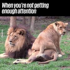 UNILAD - Lioness Wants Attention From Lion | Facebook