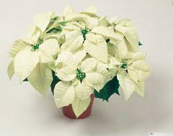 How to care for poinsettias at home