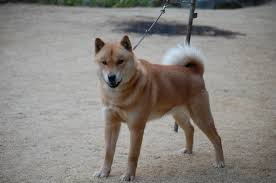 the hokkaido are thought to carry more of the genes from the older type of dogs that arrived in an with the jomon although they did interbreed with the