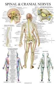 Spinal Dermatomes Chart Spinal Nerves Anatomical Chart Spine And Cranial Nervous System Anatomy Poster With Dermatomes Laminated 18 X 27