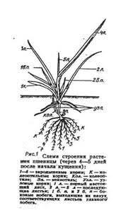 Курсовая работа Технология производства продукции яровых культур Прорастание В зародыше семени уже заложены зачатки зародышевых листьев и корешков Но для начала их развития необходимы питательные вещества