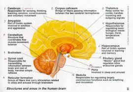 Free Template Brain Function Chart Human Brain Parts