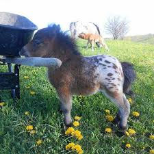 baby mini horse. Exellent Horse Have You Ever Seen A Baby Appaloosa Mini Horse And Baby Mini Horse E