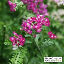 Yarrow Plant Pictures New Vintage Violet Home Design App Android ...