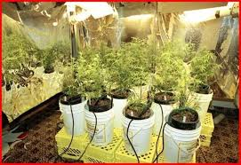 Image result for Cannabis Hydroponics