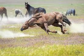 wild horses mustang fighting. Exellent Fighting Photographs In This Gallery Are Of Various Mustangs Fighting All These  Photographs The Onaqui Herd Wild Horses Utahu0027s West  For Wild Horses Mustang Fighting A