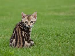 marble bengal cat. Brilliant Bengal Brown Marble Bengal Cat Throughout I