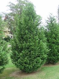 Leyland Cypress – Alternative Christmas Tree For The South | What ...