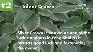 office feng shui plants. Silver Crown; 4. Office Feng Shui Plants B