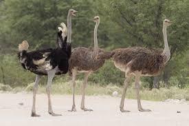 Common ostrich - Wikipedia