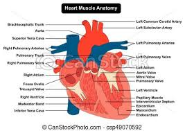 Anatomy Of The Heart Chart Human Heart Muscle Structure Anatomy Diagram