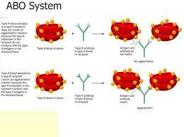 Universal Recipients Blood Designation Ppt Lab 5 Blood Lymphatics And The Immune Response