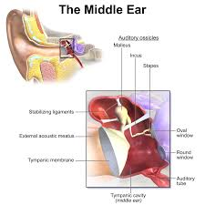 the inner ear consists of the cochlea the vestibular labyrinth and the vestibulocochlear nerve
