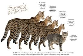 savannah cat chart about savannahs scottyspots savannahs