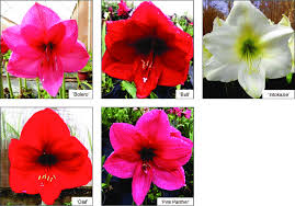 morphology and flower colours of five