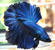 Betta Fish Chart Different Types Of Betta Fish Complete Guide Fish Care