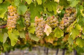 Why Chablis Is The Purest Chardonnay Wine Enthusiast