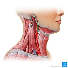arteries of the face external carotid artery branches mnemonics kenhub