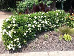 gardenia bush hedge this might be a nice replacement for those rosebushes under the windows next to the house landscaping for small yards