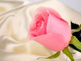 pink rose hd wallpapers page 0 high resolution wallarthd