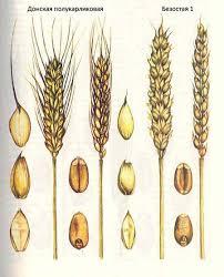 Селекция короткостебельных сортов озимой пшеницы ru  Ахтырчанка Короткостебельные сорта озимой пшеницы Донская полукарликовая Безостая 1