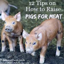Image result for pigs, hogs, cows to call
