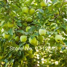 green apple fruit tree. aliexpress.com : buy high quality green apple 50 seeds, homes planting fruit trees, sweet and delicious, free shipping to send from reliable wireless tree t