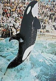 original shamu.  Shamu Shamu The Whale I And Original