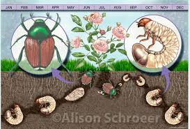 japanese beetles life cycle japanese beetle life cycle rome fontanacountryinn com