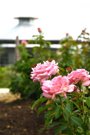 a rose garden is one of the many features of the new leach teaching gardens at texas a m university a multi million dollar centerpiece on west campus in