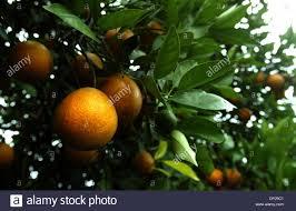 Fruit Salad Trees Usa  Fruit Salad Tree Solidaria Garden25 Best Fruit Salad Trees Usa