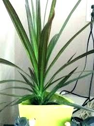 long leaf house plants big indoor plant thin green leaves large flat i